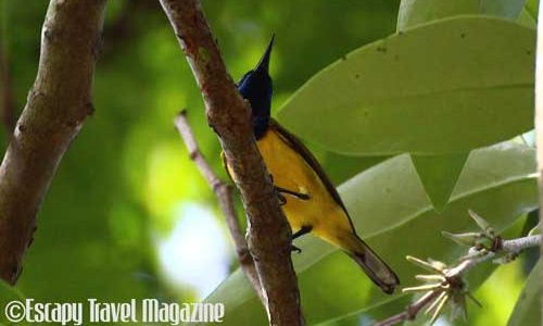 briding in malaysia, bird watching, where to see birds, bird hunt, where to go birding in malaysia, malaysia birding places, bird photography, photographing birds, urban bird watching, bird watching in malaysia, bird watching in Selangor, bird watching in Putrajaya, things to do in putrajaya