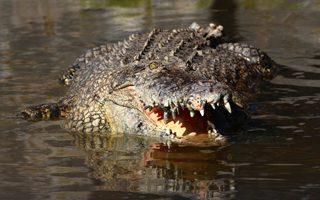 Johor, Malaysia, crocodiles, crocs, saltwater crocs, saltwater crocodiles, large crocodiles, Teluk Sengat, holidays, vacation, must do in Johor, fun, dangerous, wild, wild life, animals, educational