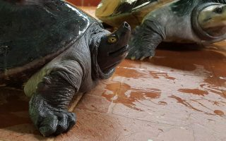 Terrapin conservation, help wild life, nature care, nature lovers, terrapins in Terengganu, save the terrapins, terrapin eggs, protection of terrapins, terrapins and turtles,